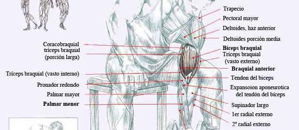 Como conseguir grandes bíceps | Gimnasioweb.com